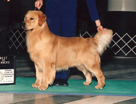 golden retriever club of america the golden retriever club of america dogs our friends photo