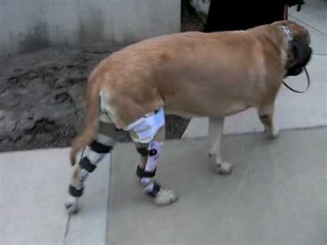 luxating patella brace tplo surgery at cares how to make do everything