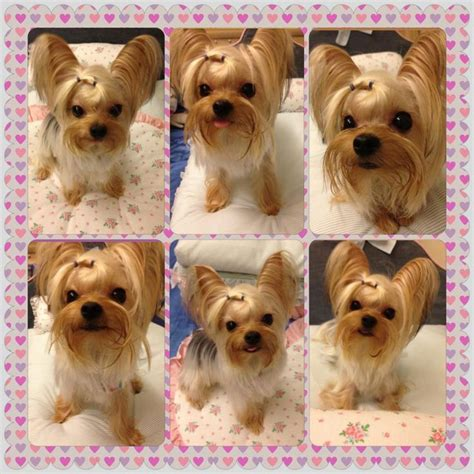 first yorkie hair cuts 190 best images about yorkie hairdo on pinterest