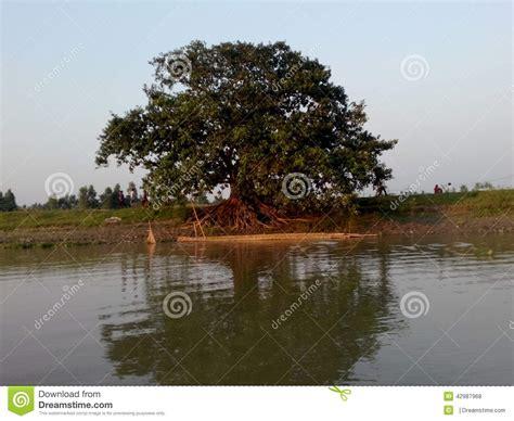 banyan tree bank banyan tree stock photo image 42987968