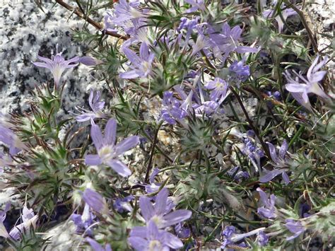 Anza Borrego Desert Flowers flowers and bracts pictures of eriastrum eremicum