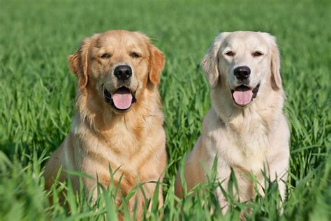 golden retriever labrador labrador vs golden the battle of the retrievers practical paw the toolkit