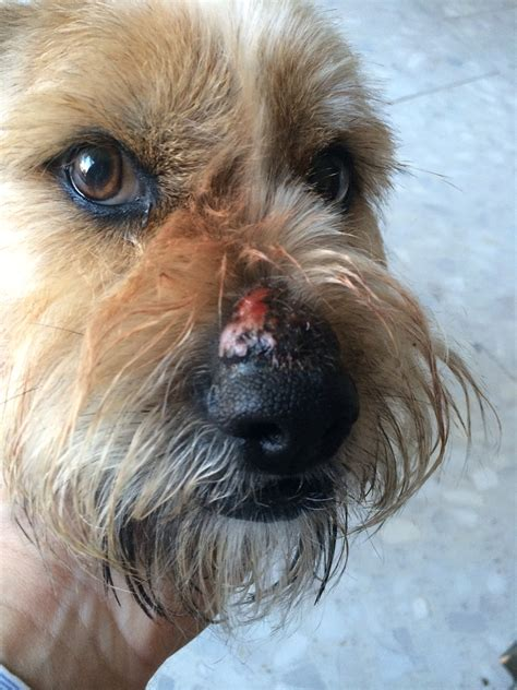 bump on s snout bump on dogs nose pictures to pin on pinsdaddy