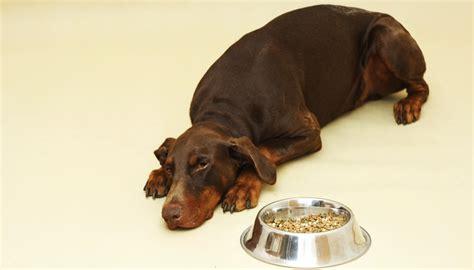 dog food  dobermans    feed doberman pinschers