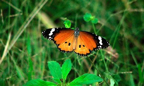 imagenes de mariposas negras y blancas mariposas tigre