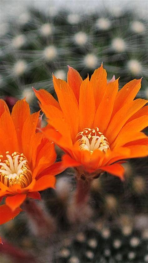 wallpaper flower iphone 4 iphone 5 wallpapers hd cute orange flowers iphone 5