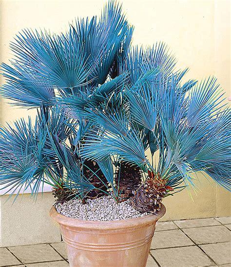 Winterharte Palmen Pflege 5797 by Blaue Zwerg Palme 1a Qualit 228 T Kaufen Baldur Garten