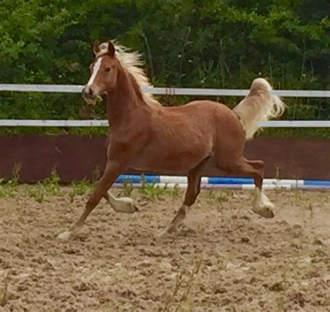 Section D Colt For Sale by Section D Colt Showing Potential Thorneyside