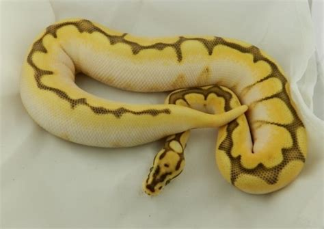 pigmentation pattern formation on snakes 212 best snakes images on pinterest
