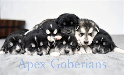 golden retriever husky puppies for sale adorable goberian puppies husky golden retriever conwy conwy pets4homes