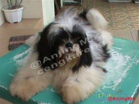 Pajangan Anjing Shin Tzu dunia anjing jual anjing shih tzu shih tzu betina