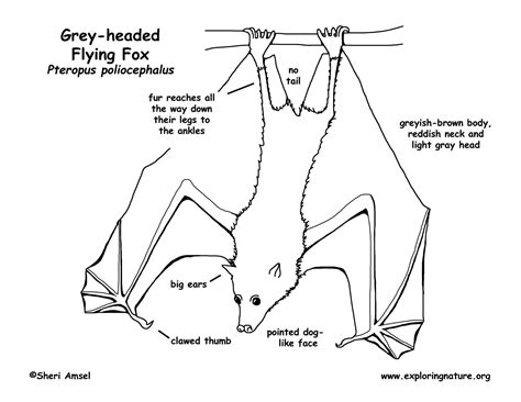 labelled diagram of a bat flying fox grey headed megabat
