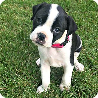 boston terrier puppies up for adoption greensboro nc boston terrier boxer mix meet a puppy for adoption