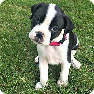 boxer boston terrier mix puppies greensboro nc boston terrier boxer mix meet a puppy for adoption