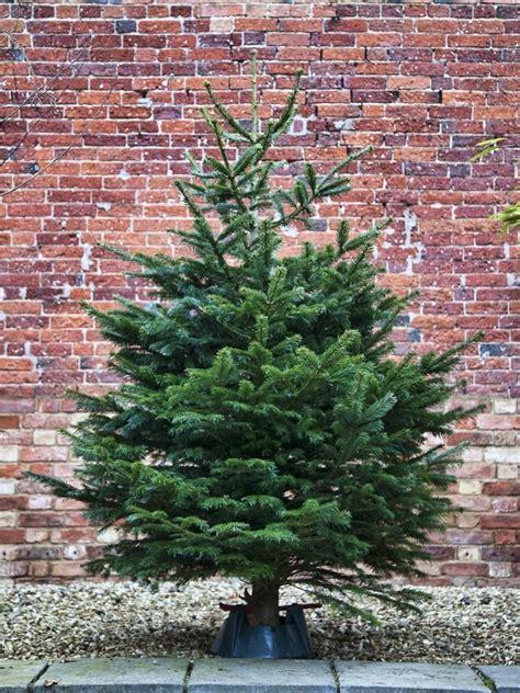 nordmann fir trees nordmann fir tree 28 images nordmann fir tree amigos