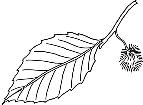 Outline Drawing Of A Leaf by Beech Leaf Outline Clip At Clker Vector Clip Royalty Free Domain