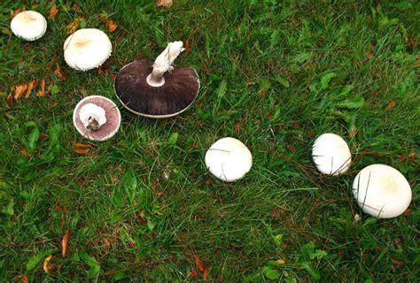 edible backyard mushrooms mushrooms in yard edible best yard and garden design 2017