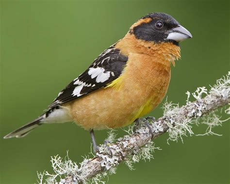 black headed grosbeak audubon field guide