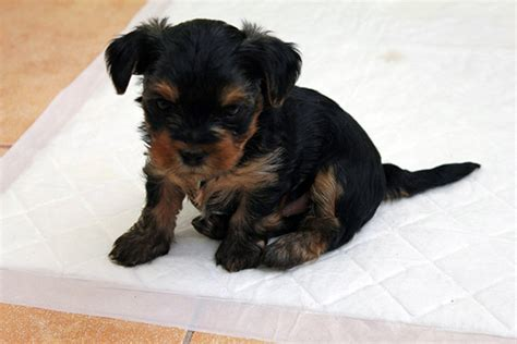 are yorkies easy to potty best way to potty a yorkie