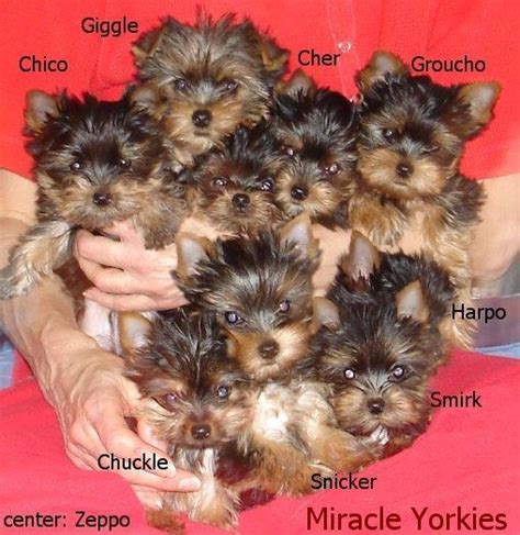 7 week yorkie puppies yorkies terriers yorkie breeder nc carolina terrier