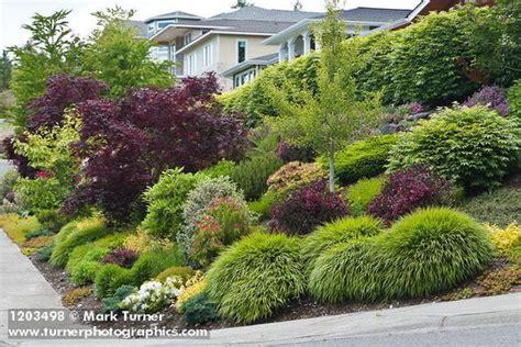 1203498 grasses shrubs small trees in front yard garden next to sidewalk acer palmatum cv