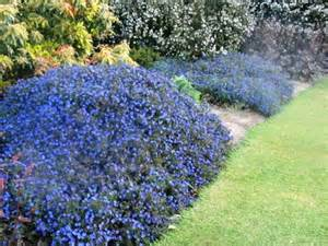 lithospernum grace ward gardening made easy providing