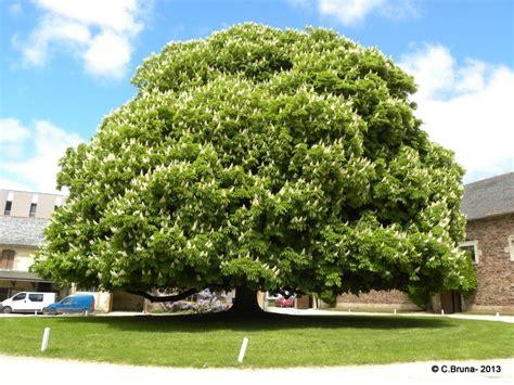 le patio rodez un magnifique maronnier dans le parc rodez arbres et
