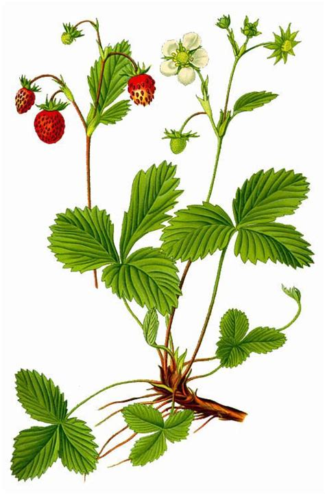 Piring Plate Florist 13533 best botanical images on botanical