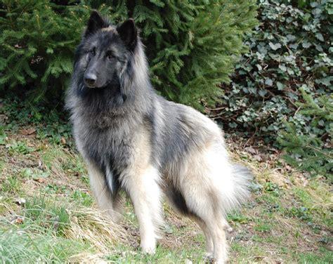belgian shepherd tervuren belgian shepherd tervuren terv dogz