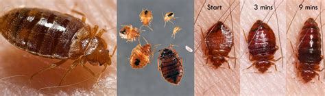 what color is a bed bug color of bed bugs 28 images scientists discover which