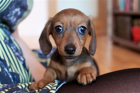 miniature dachshund puppies introducing my mini dachshund culturazzi