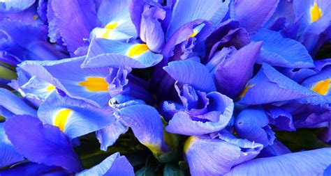 what is a state flower tennessee state flower the iris proflowers