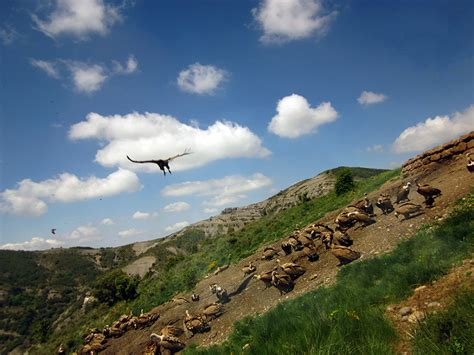 spanish nature of photographs nature photography and a vulture feeding in catalonia