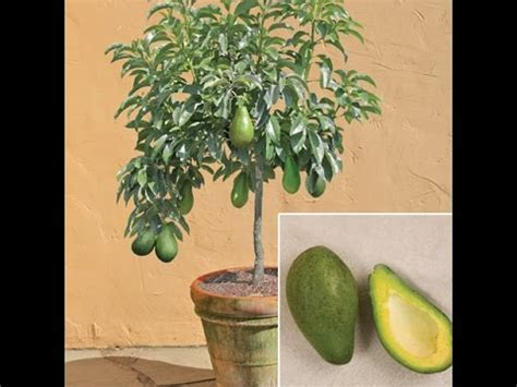 tree at home how to grow avocado tree from seed at home