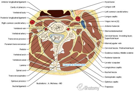 neck sectional anatomy anatomy of the spine and back