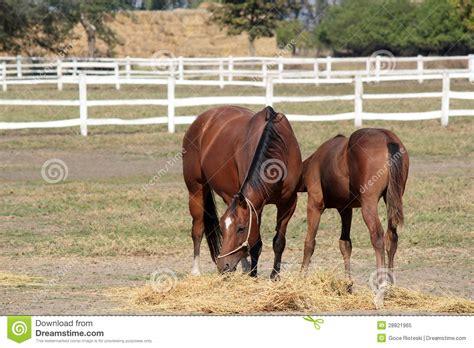 alimentazione puledro cavallo e puledro in corral immagine stock immagine di