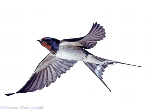 barn swallow in flight google search swallows and