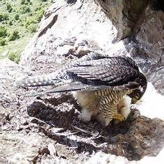 40 best images about falcons nest on pinterest atlanta falcons football wall and blog basic anatomy of a peregrine falcon veterinary human