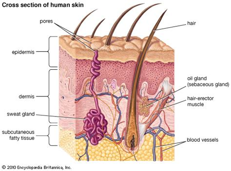 Vertical Section Of Human Skin by Encyclopedia Children S Homework Help