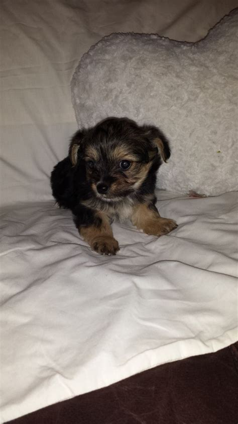 chihuahua yorkie mix puppies for sale chorkie yorkie puppies for sale chorkie puppies for sale chihuahua x yorkie crook