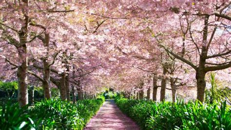 tourists flock to waikato cherry blossom festival stuff co nz