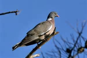 pigeon cuisine fran 231 aise