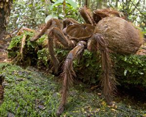 world's largest spider spotted in guyana's rainforest