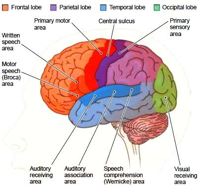 the cerebral hemispheres. functions of the cerebral