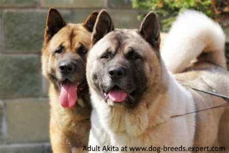 Akita Inu. Everything you need to know about this large