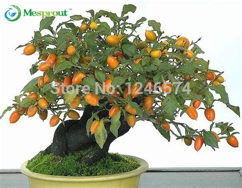 best place to buy wholesale fruit trees aliexpress buy 20 persimmon seeds diospyros kaki