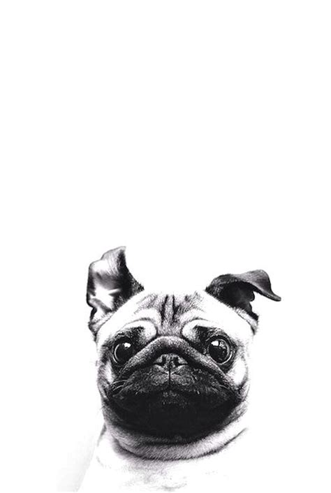 pug wallpaper iphone 6 the world s catalog of ideas