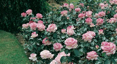siepi fiorite giardinaggio pagina 2 www lerosedifirenze