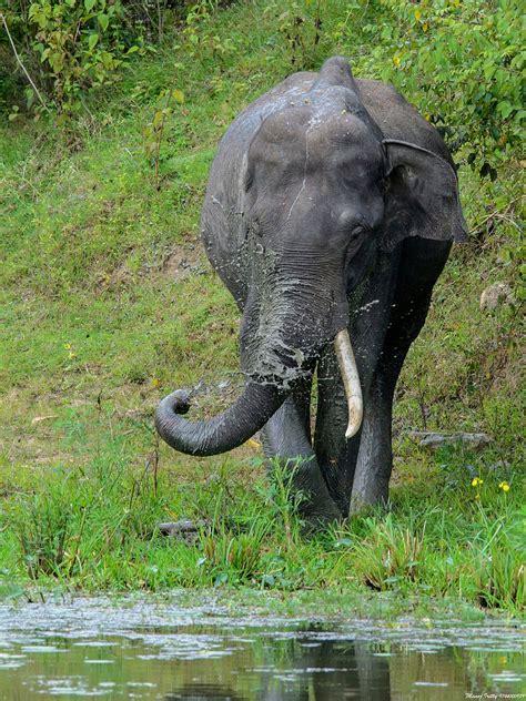 botanical name of elephant borneo elephant