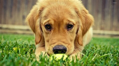 animals golden retriever golden retriever puppy 3 wallpaper animal wallpapers 26778